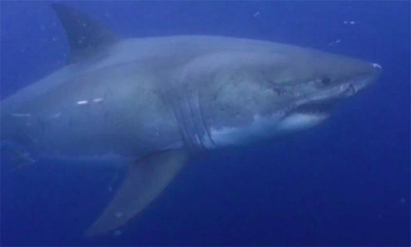 ホホジロザメの画像 p1_24
